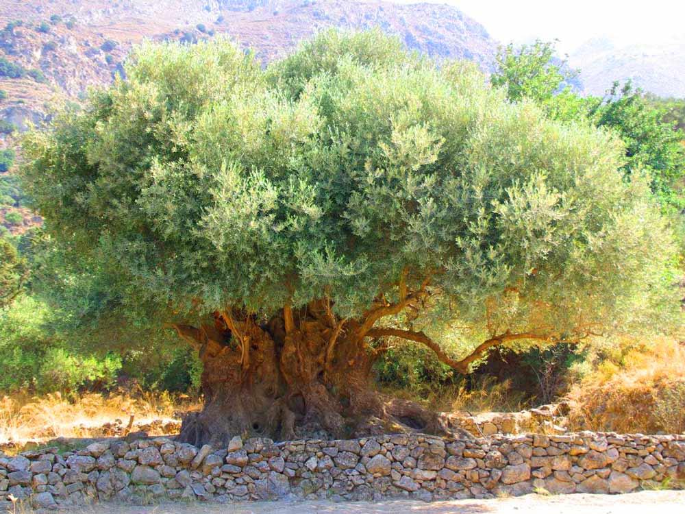 Kavousi ancient olive Tree